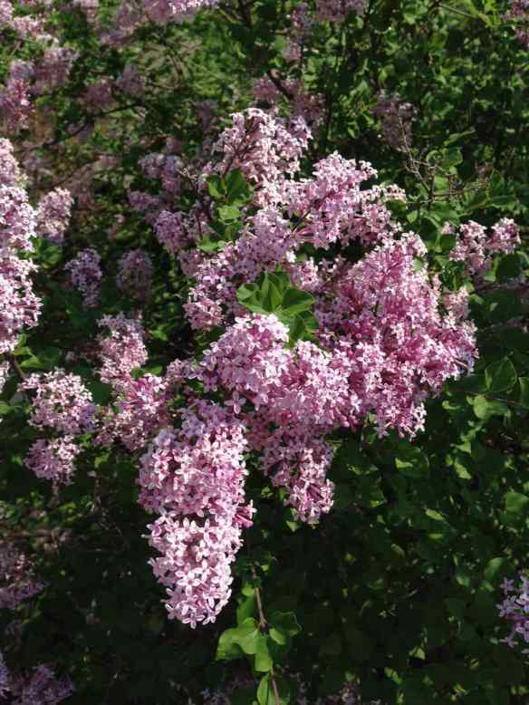 Lilac palibin