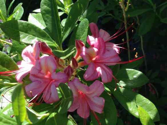Azalea Pink&Sweet2