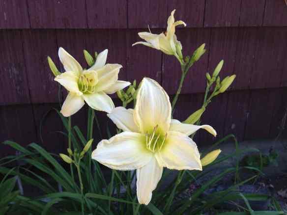 daylily2